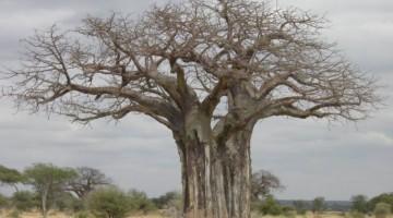 Baobab en Tarangire. Por Almudena P.