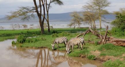 Cebras bebiendo en lago Nakuru. Por Udare