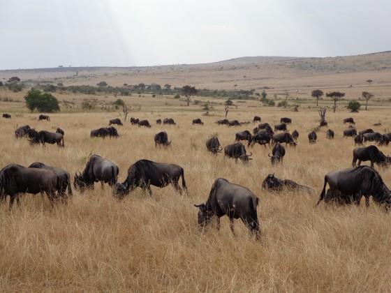 Ñus pastando en el Masai Mara. Por Udare