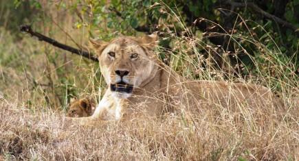 Leona y cachorro en Masai Mara. Por Udare