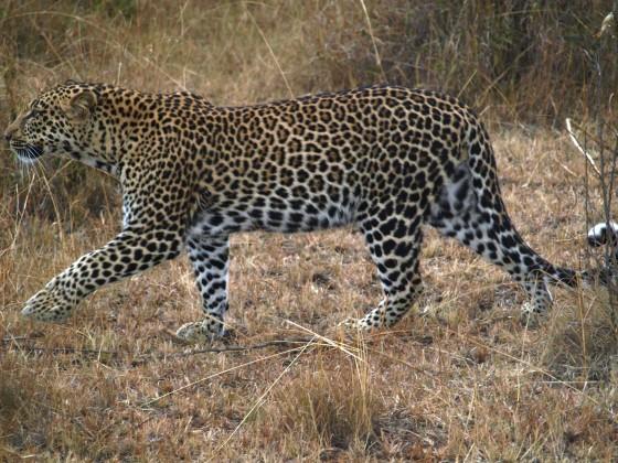 Leopardo en Masai Mara. Por Udare