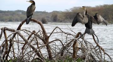 Cormoranes en el lago Naivasha. Por Udare