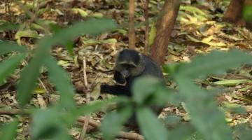Mono azul en Parque Nacional Manyara. Por Udare