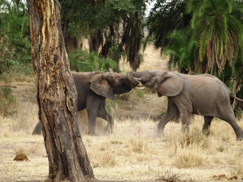 Elefantes peleando con trompas alzadas. Por Udare