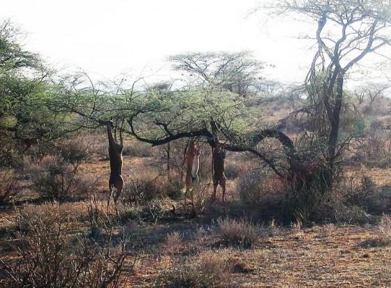 Gerenucs en la Reserva de Samburu. Wikipedia