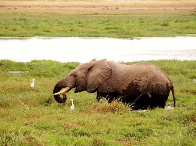 Elefante en zona pantanosa de Amboseli. Por Udare