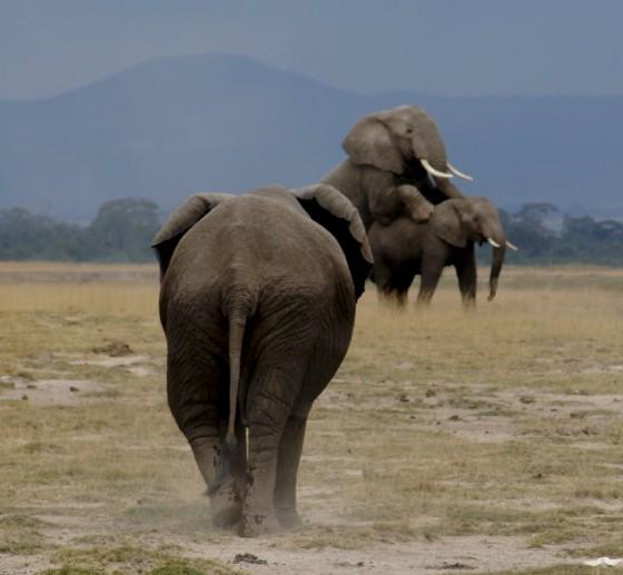 Reproducción del elefante. Por Udare