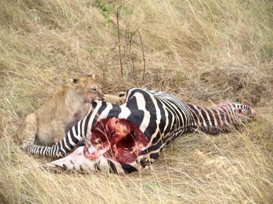 Cachorros de león comiendo cebra. Por Udare
