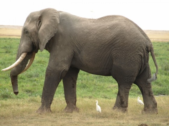 Elefante en Amboseli. Por Udare