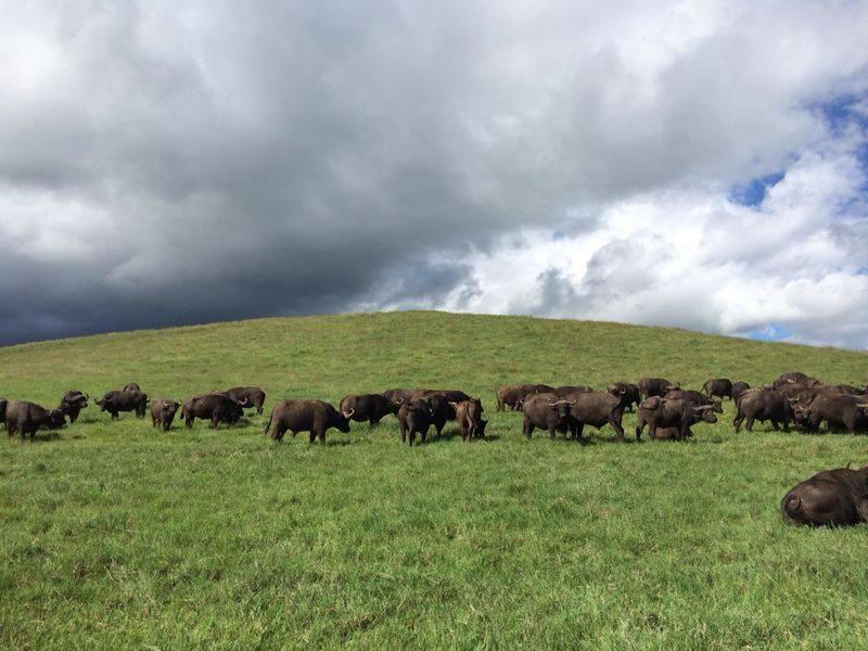 Búfalos pastando en Serengei. Por Marga