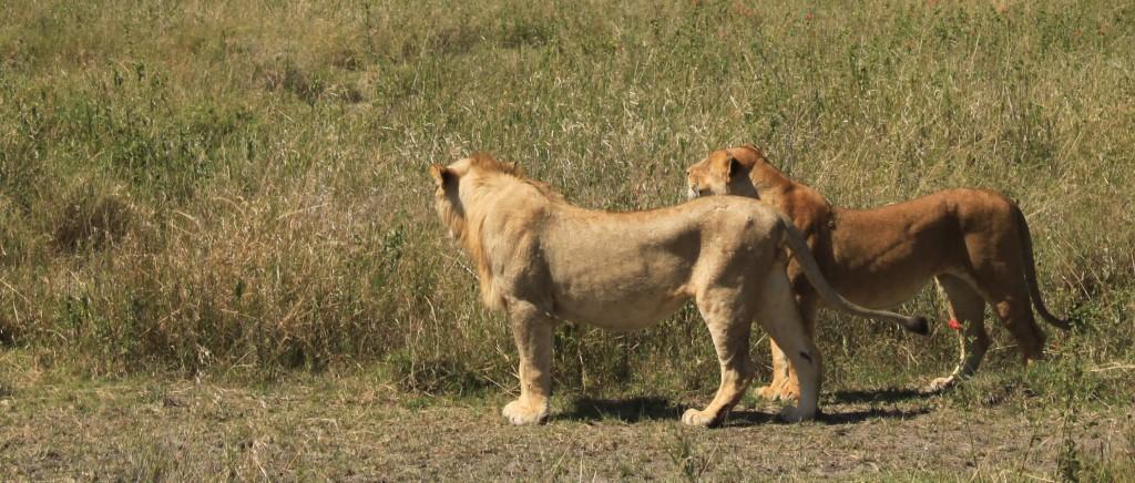 Leones en Ngorongoro. Por J. Vicente