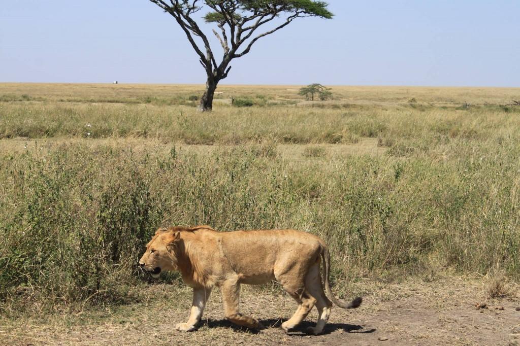 Un joven león solitario en Serengeti. Por J. Vicente