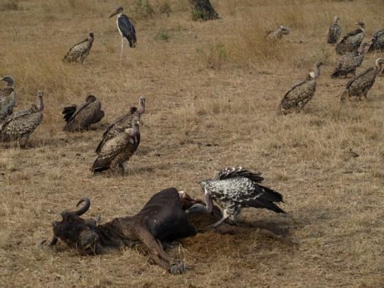 Buitres alimentándose en Serengeti. Por Udare