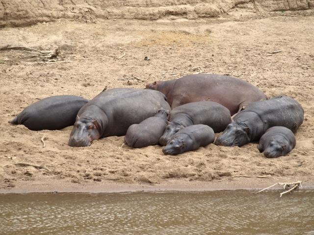 Hipopótamos en el río Mara. Por Udare