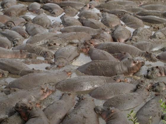 Hipopótamos en Serengeti. Por Udare