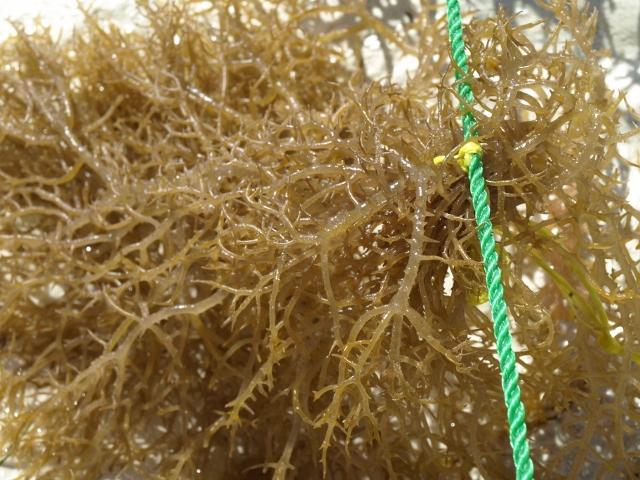 Algas atadas para su cultivo. Por Udare