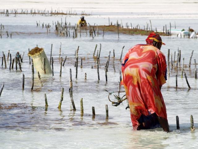 Cultivando algas en Zanzibar. Por Udare
