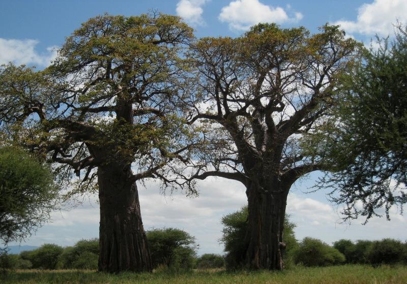 Baobabs en Tarangire. Por Sol M.