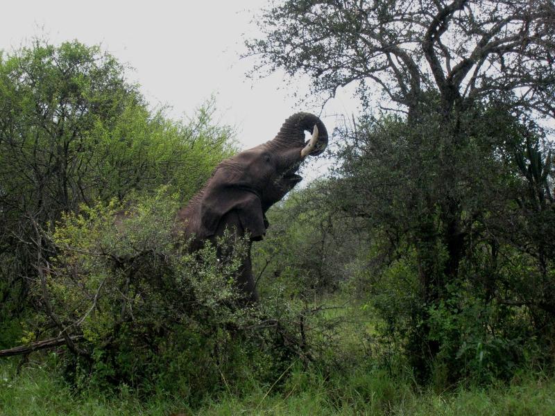Elefante en Serengeti. Por Sol M.