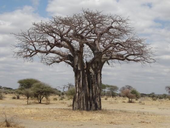 Baobab. Por Udare