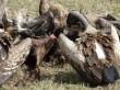 Buitres en Serengeti. Por Udare