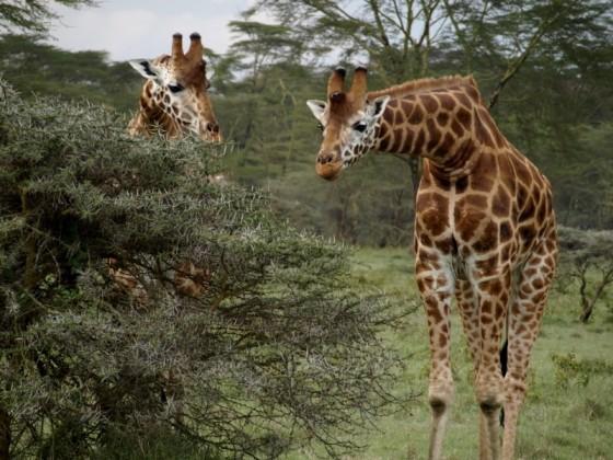 Jirafas en PN Nakuru. Por Udare