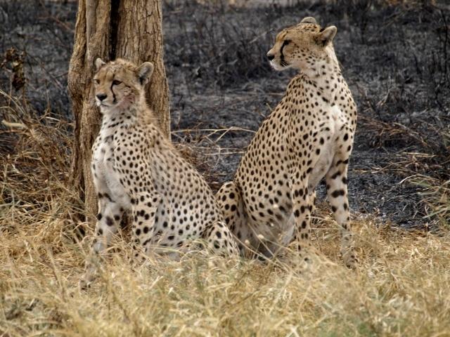 Guepardos en Serengeti. Por Udare