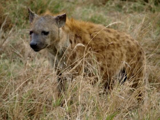 Hiena en Serengeti. Por Udare