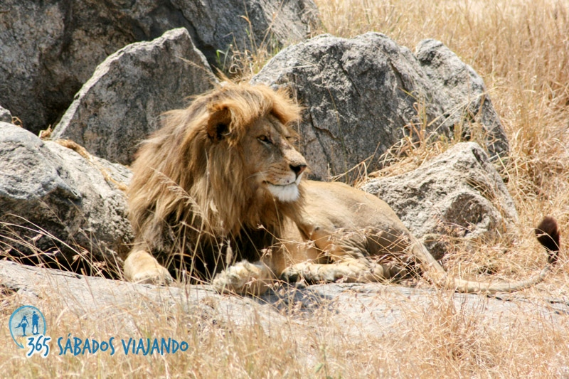 El rey de la sabana vigilando su feudo. Por 365sabadosviajando