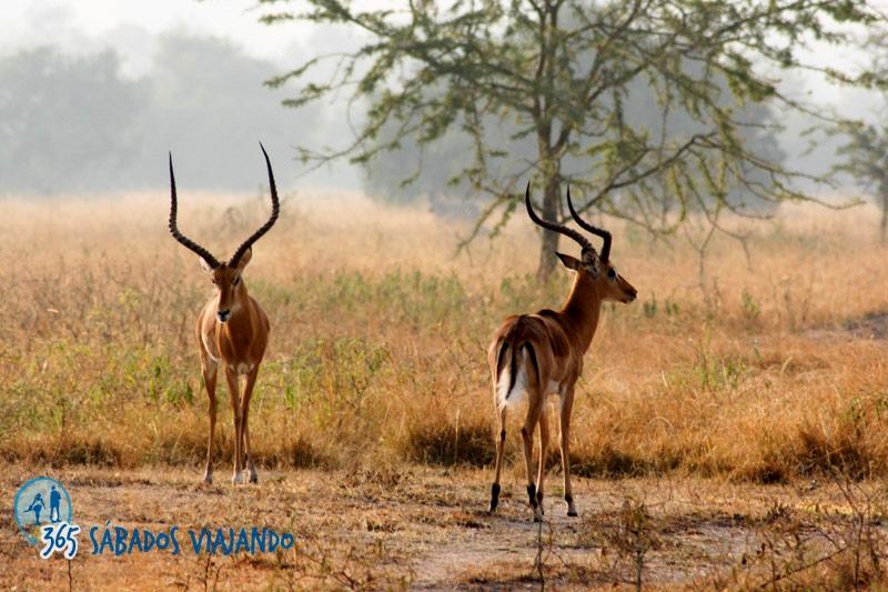 Impalas en la sabana. Por 365sabadosviajando
