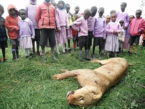 León abatido por masais. Por baraza.wildlifedirect.org