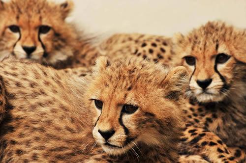 Cachorros de guepardos. Por KWS