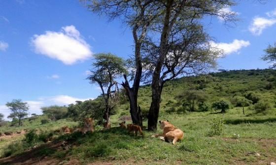 Leones descansando en Serengeti