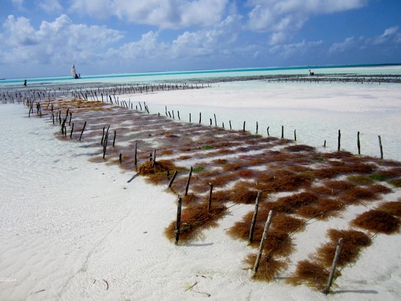 Plantaciones de algas en Jambiani. Por Pillareta