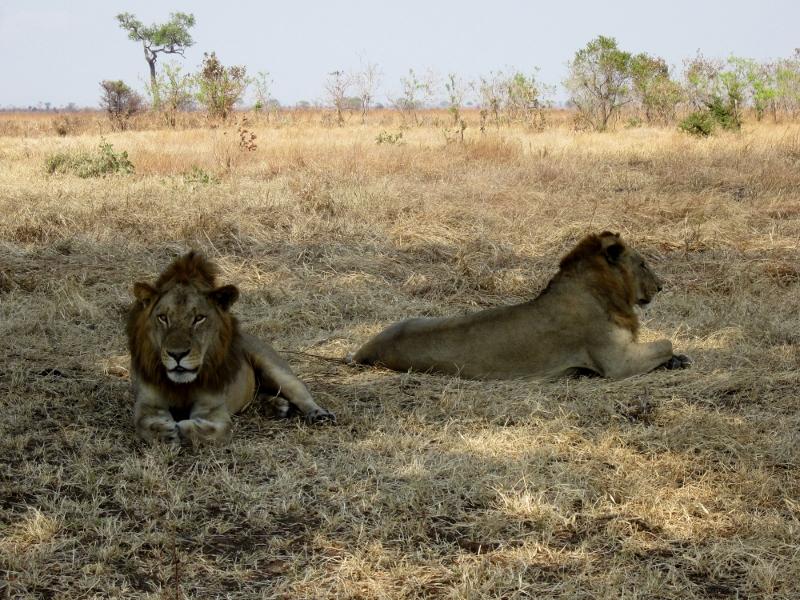 Leones, indiscutibles reyes de la sabana. Por Pillareta