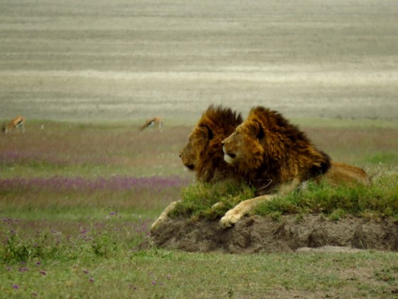 Leones en Serengeti. Por Lázaro