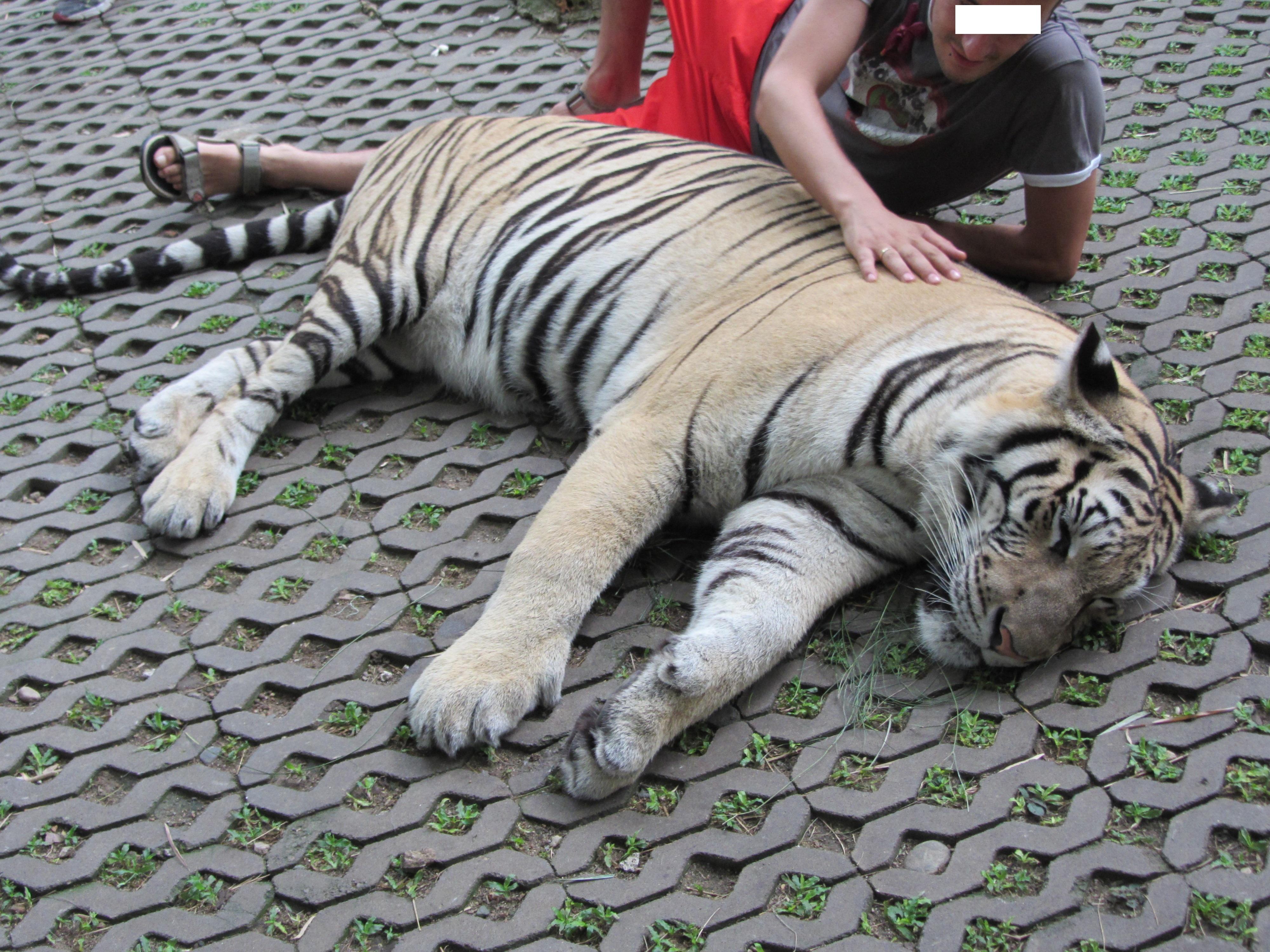 Interacción con tigres. Por FAADA