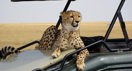 Un guepardo muy de cerca en Masai Mara. Por Miguel