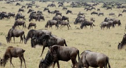 Migración de ñu en Masai Mara. Por Udare