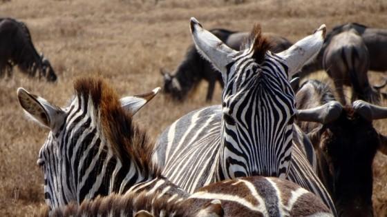 Cebras y ñus en Masai Mara. Por Miguel