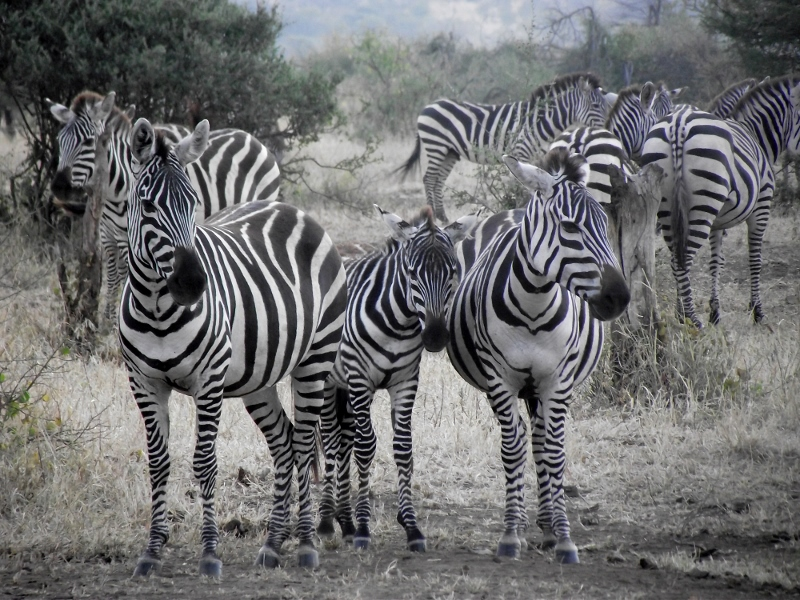 Cebras en alerta en Serengeti. Por Raúl