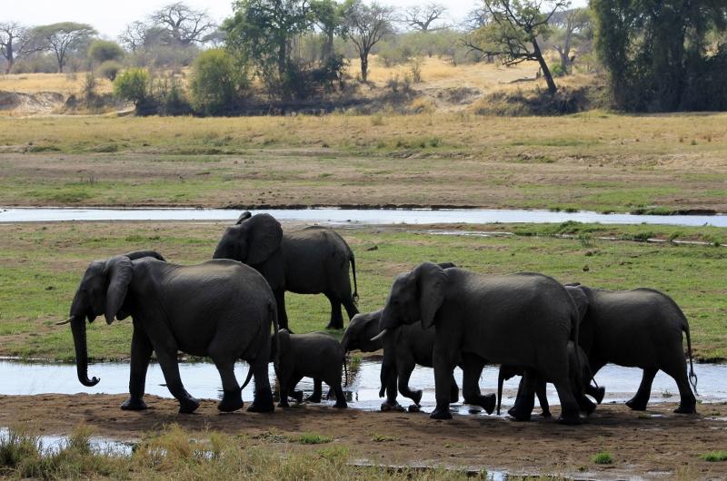 Manada de elefantes en Ruaha. Por Jacob