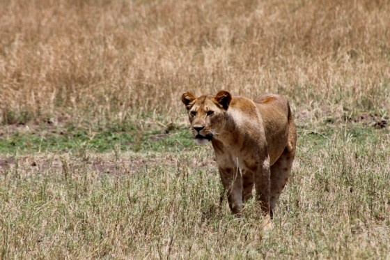 Leona aproximándose a su presa. Por Raúl