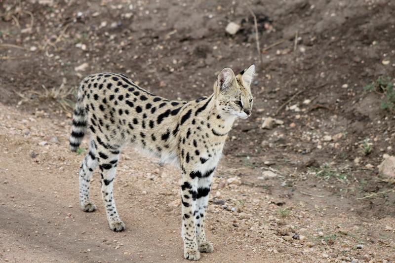 Un serval en el camino, huidizo animal. Por Maite