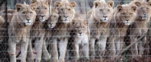 Leones en cautiverio destinados para la caza enlatada