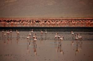 Flamencos en lago Natrón. Por Santiago
