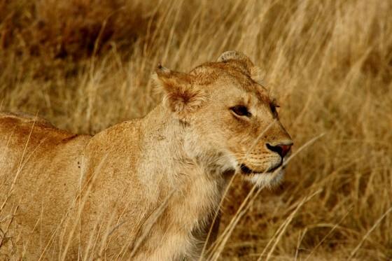 Leona en Ngorongoro. Por Santiago