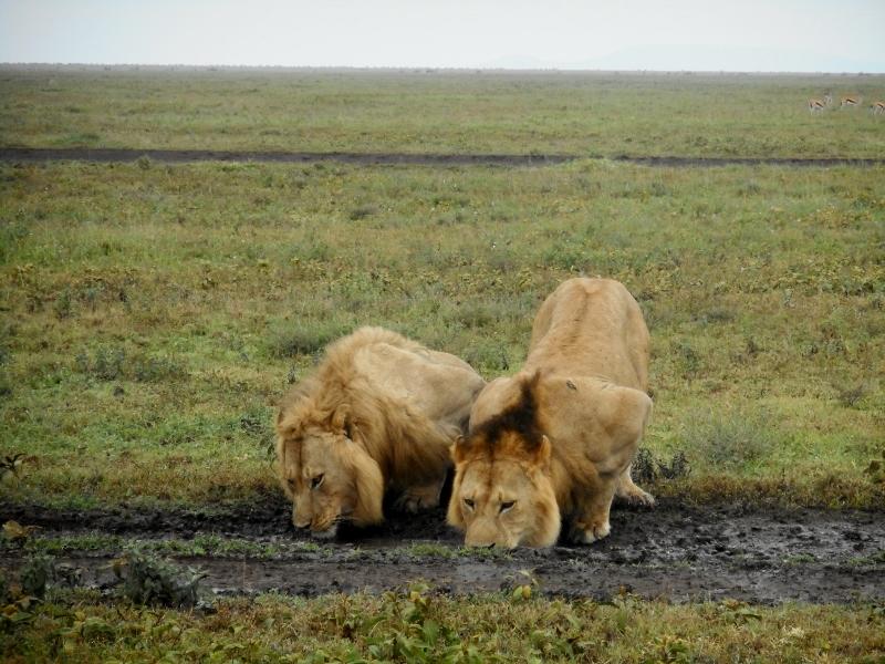 2 machos nómadas en Serengeti. Por Eudardo