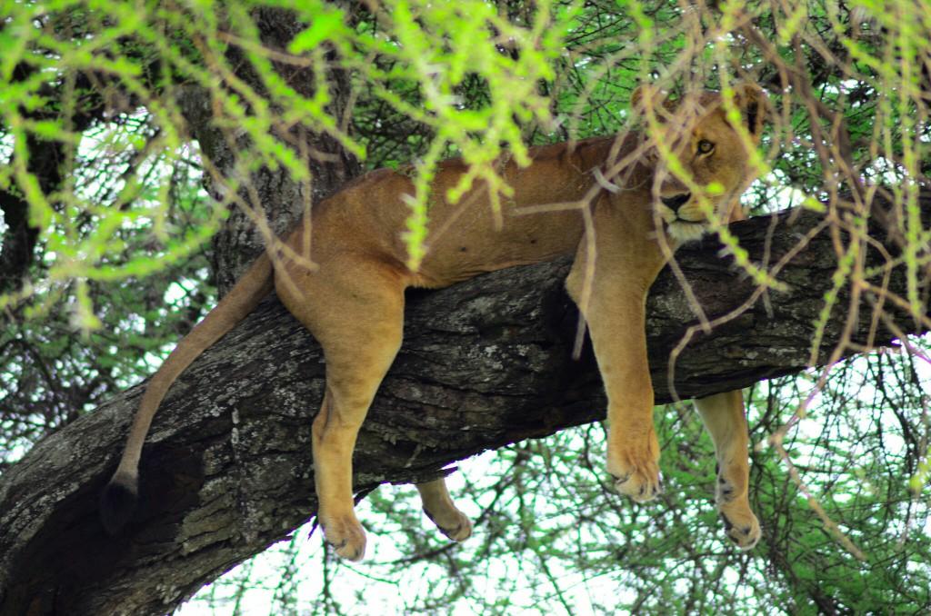 Leona descansando en las ramas. Por Laura