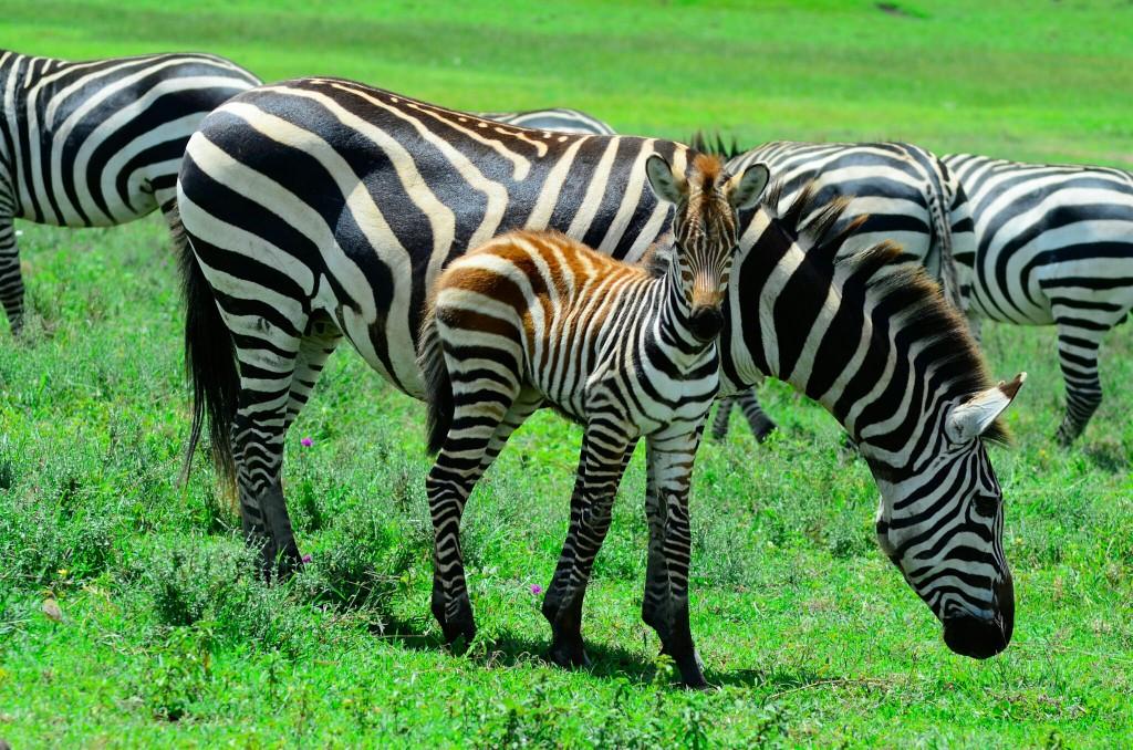 Cebras en Ngorongoro. Por Laura